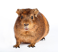 guinea pig facing